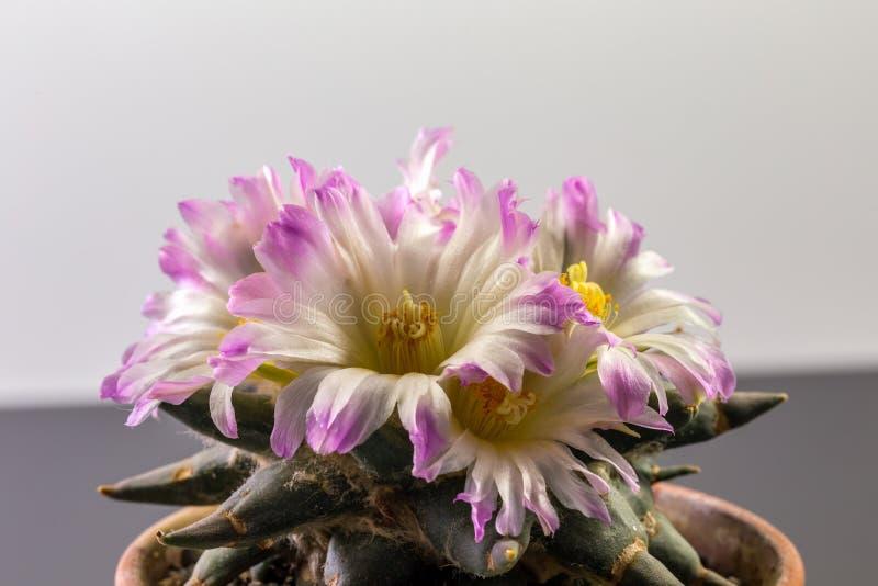 Ariocarpus fotografia stock libera da diritti