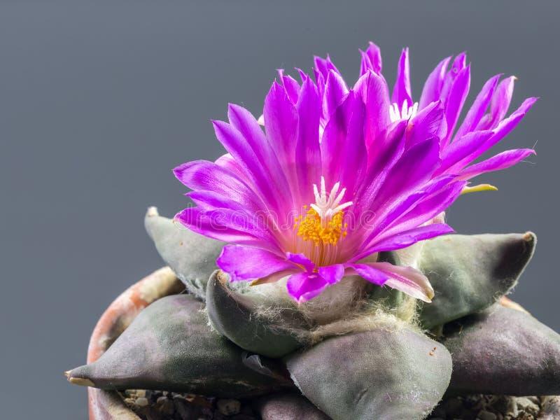 Ariocarpus fotografie stock
