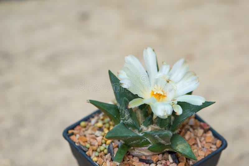 Ariocarpuscactus met witte bloem in pot stock afbeeldingen