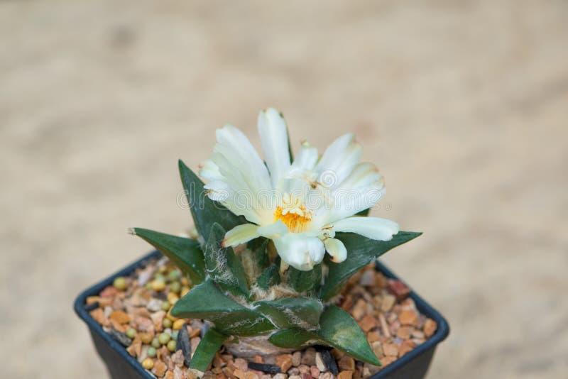 Ariocarpuscactus met witte bloem in pot royalty-vrije stock foto's