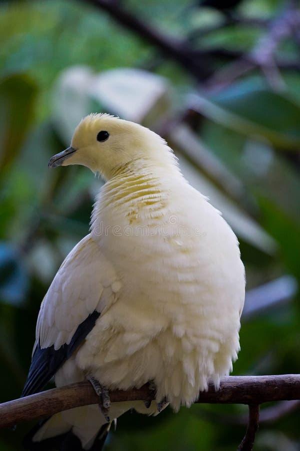 Arisona de Phoenix de colombe coloré par perle de zoo photos stock
