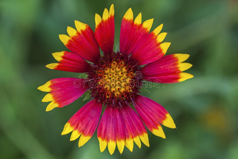 Aristata da flor geral do Gaillardia imagem de stock royalty free