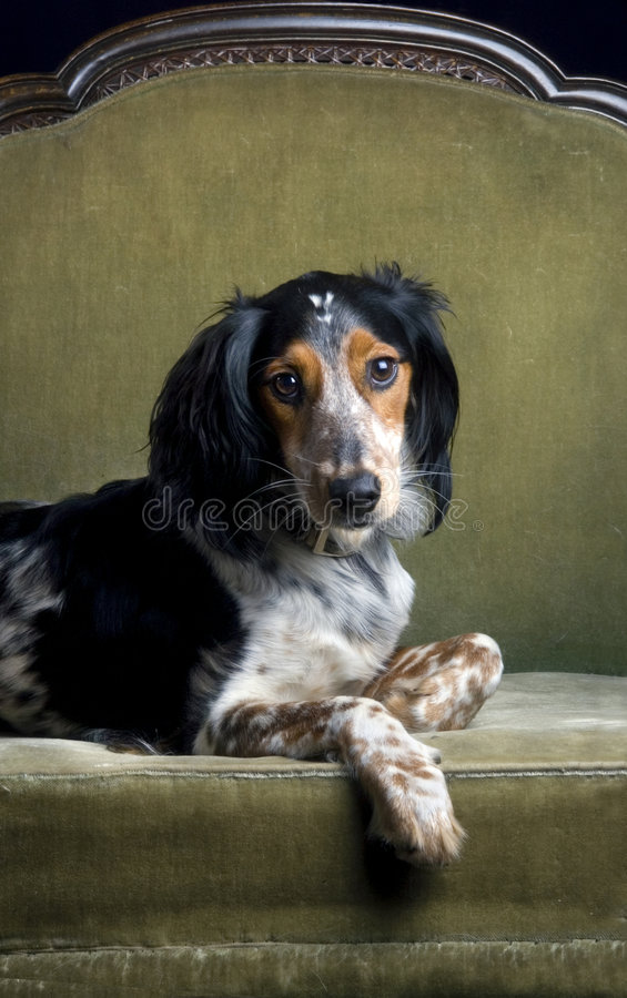 aristokratsoffahund royaltyfri bild