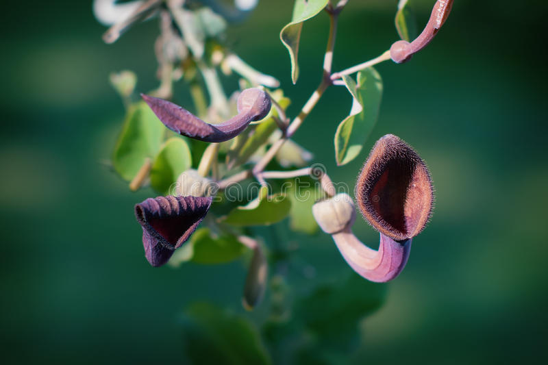 Aristolochia Baetica royalty free stock photos