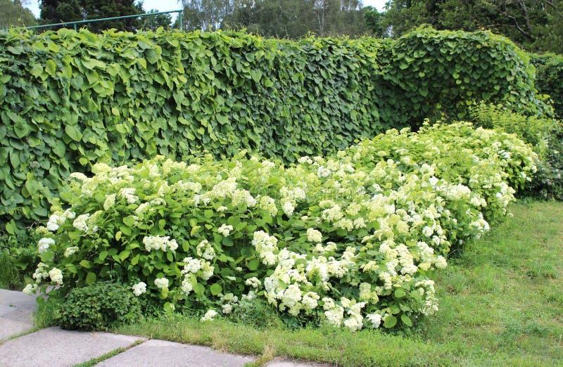 Aristolochia macrophylla oder Rohr- und Hortensiebüsche Dutchman's im Sommer arbeiten im Garten stockbild