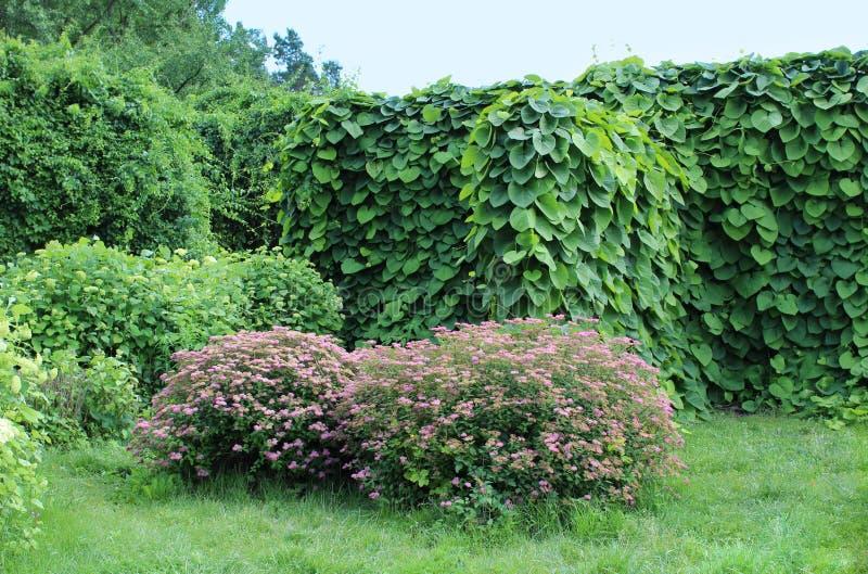 Aristolochia macrophylla und rosa filipendula im Sommer arbeiten im Garten lizenzfreie stockfotos