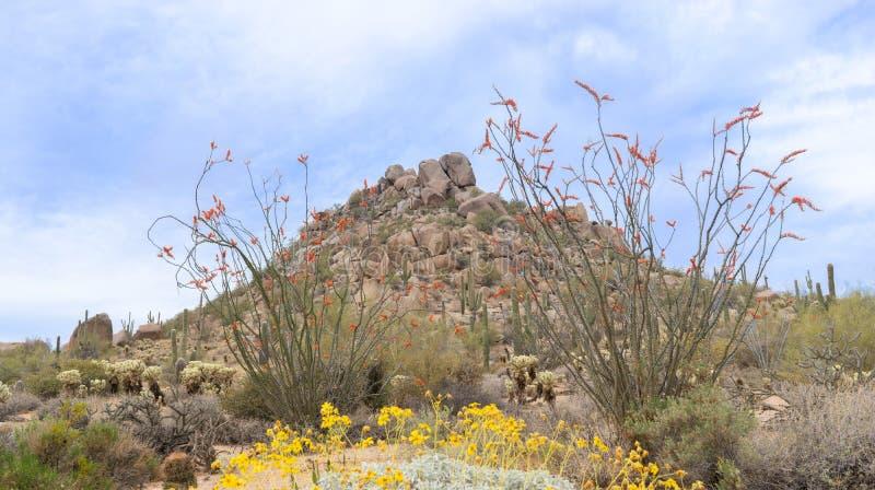 Arizona öken som blommar i vårtid royaltyfri bild