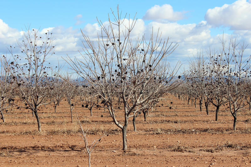 Download Arizona Agriculture Trees Royalty Free Stock Photos - Image: 25042438