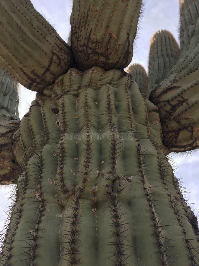 Arizona Cactus. Upward shot of a cactus in the state of Arizona near Phoenix royalty free stock photo