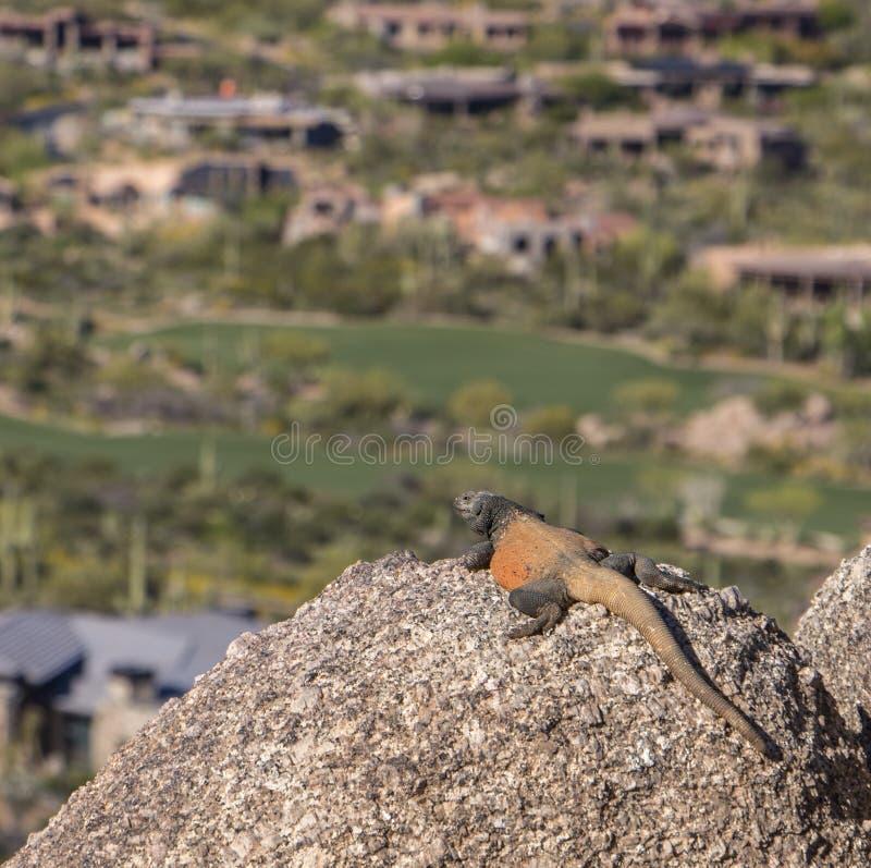 Arizona Chuckwalla jaszczurka Przegapia pole golfowe fotografia royalty free