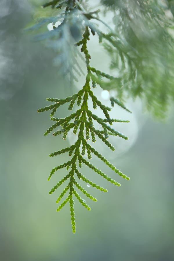 Arizona cypress royaltyfri fotografi