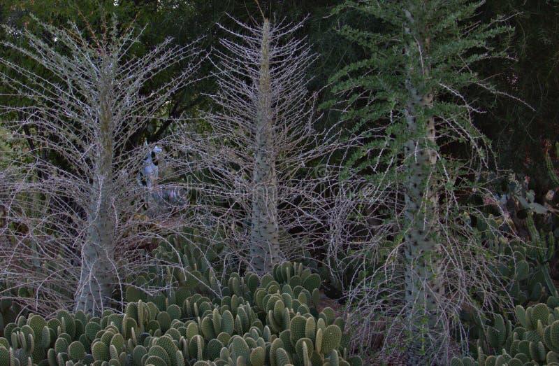 Desert, Botanical, Garden, Phoenix, Arizona, flowers, plants, trees, cacti, wildlife, color,. Arizona Desert Botanical Garden in Phoenix showing Flowers, Plants stock photography