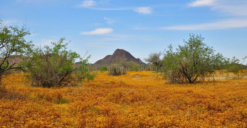 Arizona, Frühlings-Blumen nördlich von Phoenix: Ein Teppich der Kugel-Kamille stockfotos