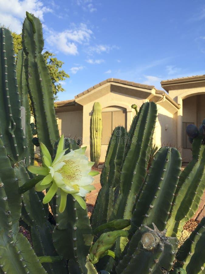 Arizona Front Yard Cactus foto de archivo