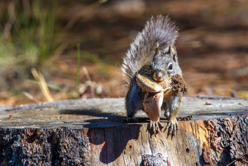 Arizona Gray Squirrel royalty-vrije stock afbeeldingen