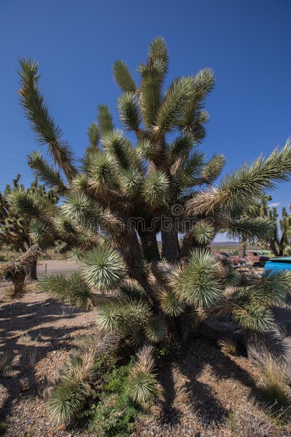 arizona Joshua tree obraz stock