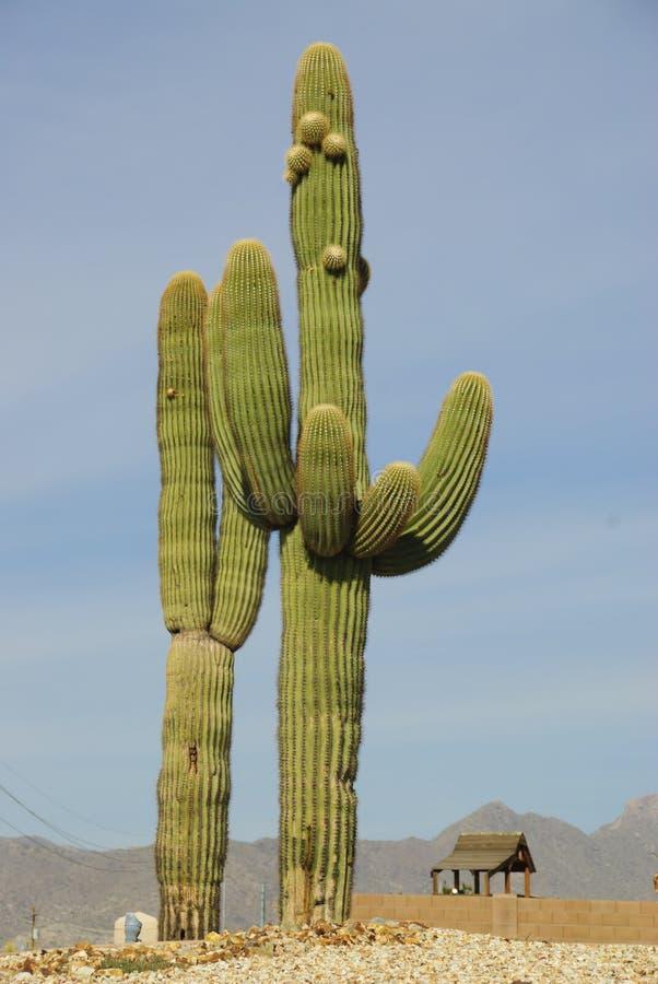 arizona kaktus zdjęcie stock