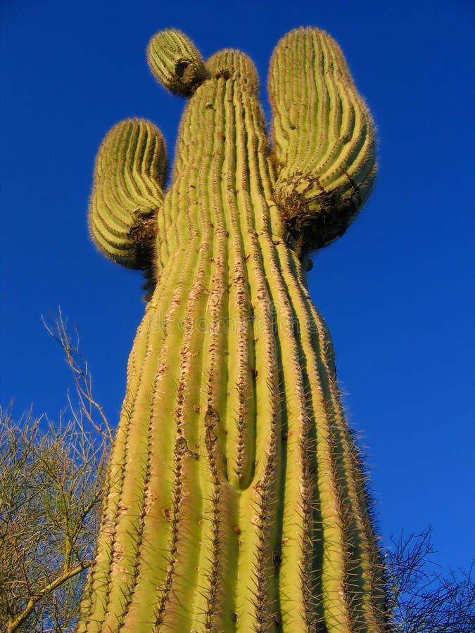 arizona kaktus obraz stock
