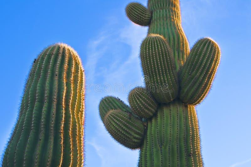 arizona kaktussolnedgång royaltyfria foton