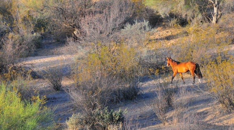 Arizona krajobraz z Solankowymi Rzecznymi Dzikimi koniami obrazy stock