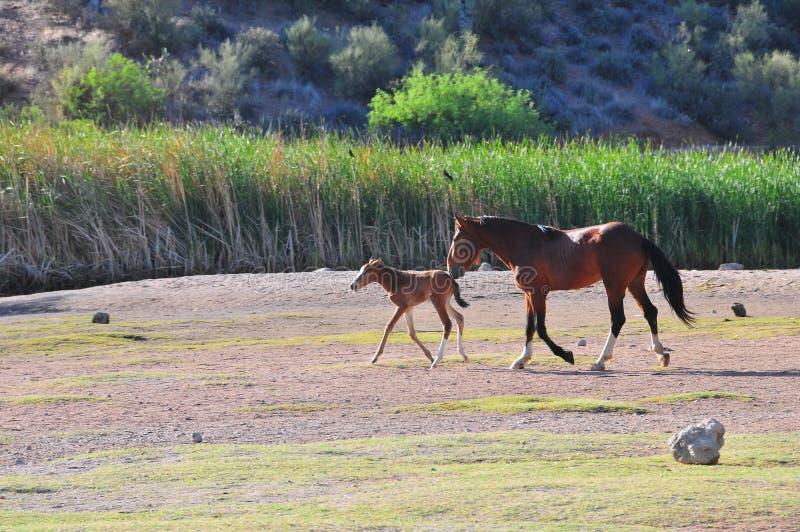 Arizona krajobraz z Solankowymi Rzecznymi Dzikimi koniami zdjęcia stock