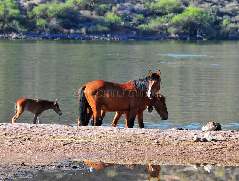 Arizona Landscape with Salt River Wild Horses royalty free stock images