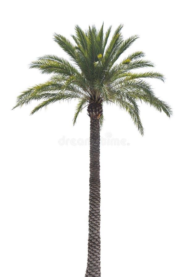 Arizona Medjool Palm. An Arizona Medjool palm tree isolated on white stock photo