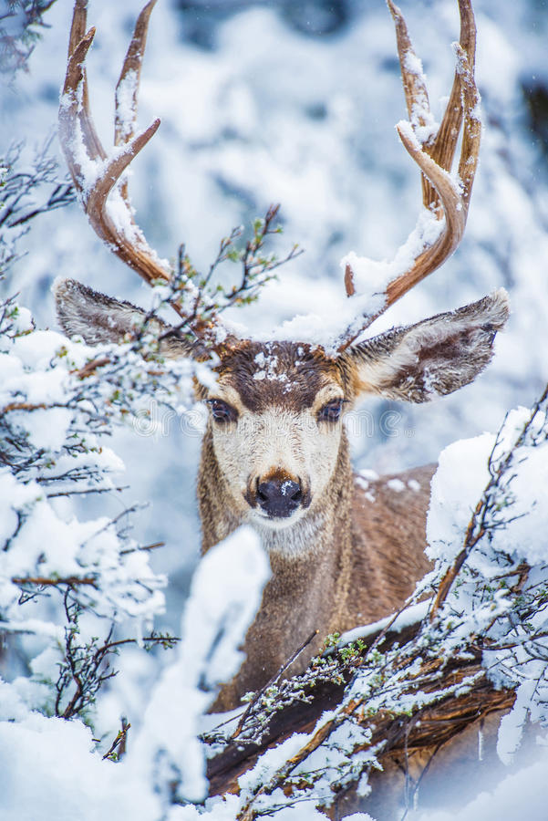 Arizona Mule Deer. In Winter. Northern Arizona Kaibab National Forest, Grand Canyon Area. United States royalty free stock image