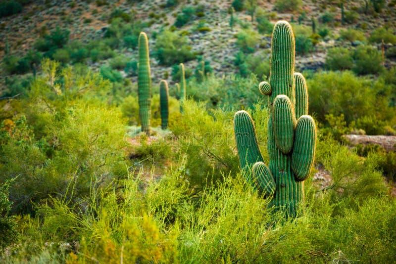 Arizona pustyni kaktusy obraz stock