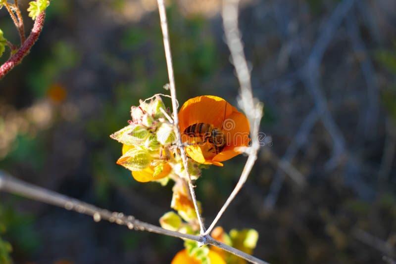 Arizona pustyni kwiat z pszczo?? obraz stock