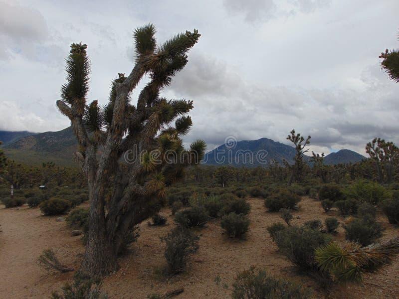 Arizona pustynia i Joshua drzewa las obrazy stock