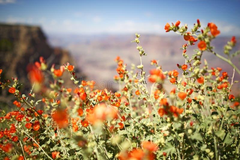 Arizona röda blommor fotografering för bildbyråer