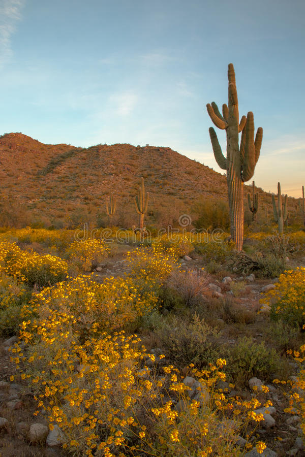Arizona Saguaro. Rising sun casts golden rays on towering Saguaro cactus with yellow wildflowers in the White Tank Mountains west of Phoenix, Arizona royalty free stock photography