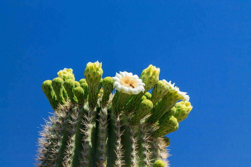 Arizona Saguarokaktus i blom royaltyfria foton