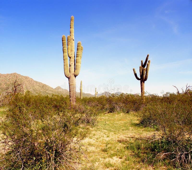 Arizona Saguaros stock afbeelding