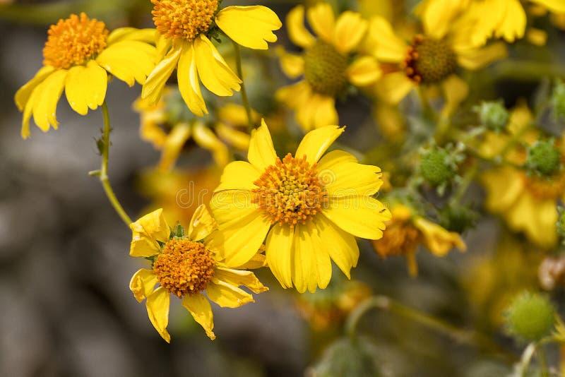Arizona Spring Wildflowers. Attractive yellow Arizona spring season wild sunflowers are blooming in the Southwest desert stock photos