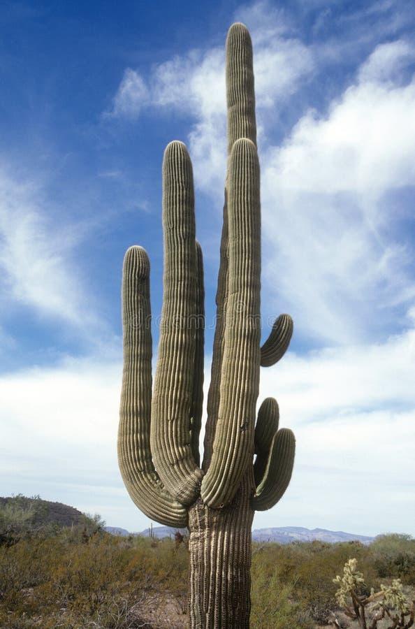 Arizona Travel. Saguaro Cactus, Multi-Armed in Arizona stock image