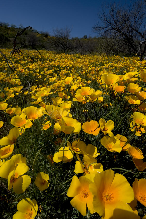 Arizona-WüsteWildflowers stockbild
