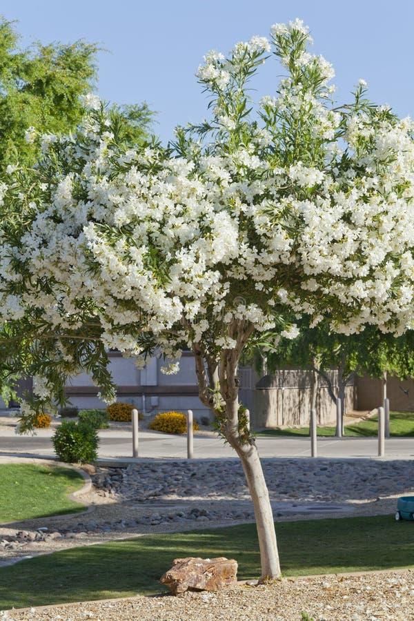 Download Arizona White Oleander stock image. Image of poisonous - 24675547