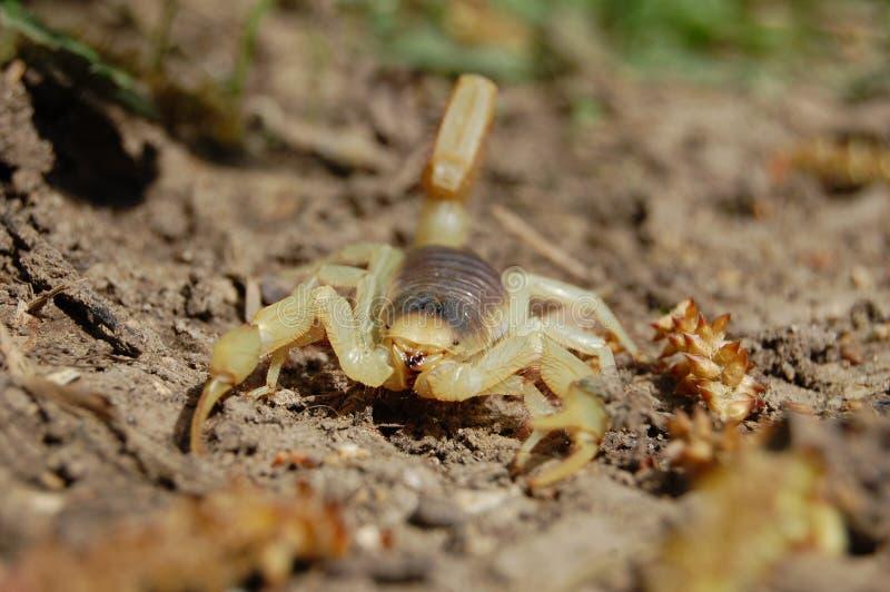 Arizonensis velu de Hadrurus de scorpion de désert image libre de droits