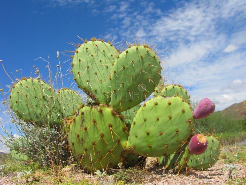 Arizonian stachelige Birnen-Kaktus lizenzfreie stockfotos