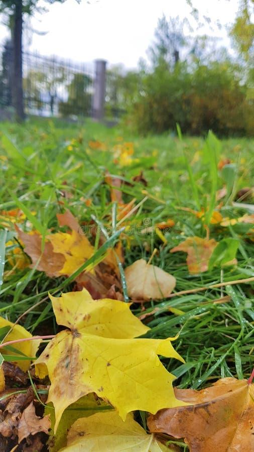 arkansan Φθινόπωρο στο πάρκο πόλεων φύλλα σφενδάμου στη χλόη στοκ φωτογραφία με δικαίωμα ελεύθερης χρήσης