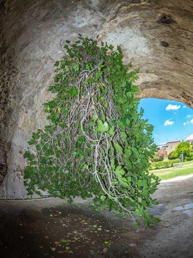 Arkeologiskt parkera av Baia, uppochnervänd fikonträd royaltyfria bilder