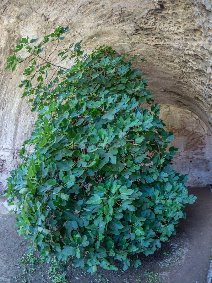 Arkeologiskt parkera av Baia, uppochnervänd fikonträd fotografering för bildbyråer