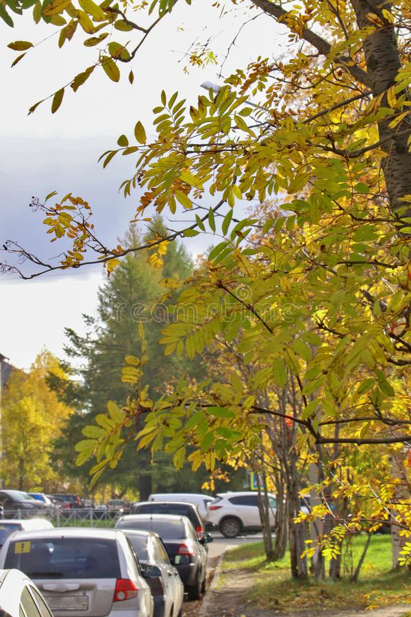 Arkhangelsk. Autumn day on the streets. Golden leaves of mountain ash in the sun stock photography