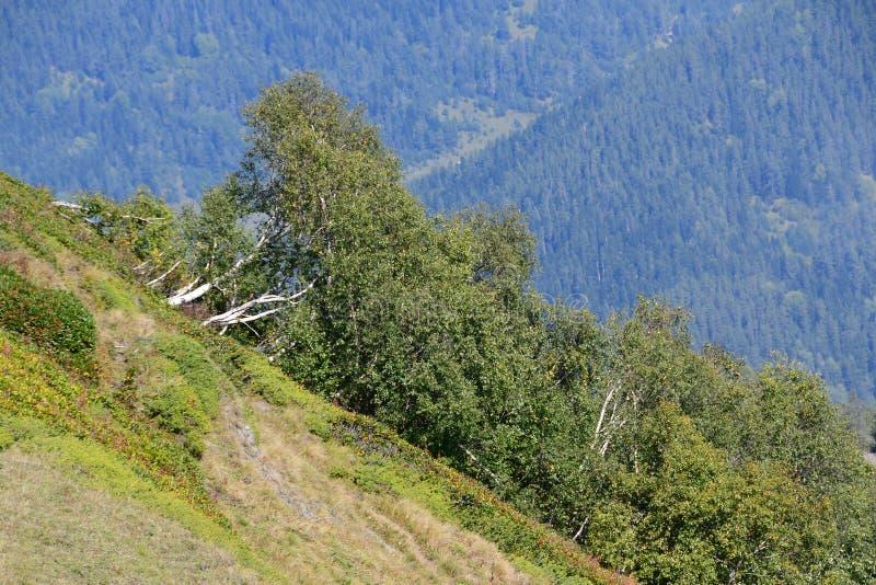 Arkhyz Άλσος σημύδων στη βουνοπλαγιά r στοκ φωτογραφία με δικαίωμα ελεύθερης χρήσης