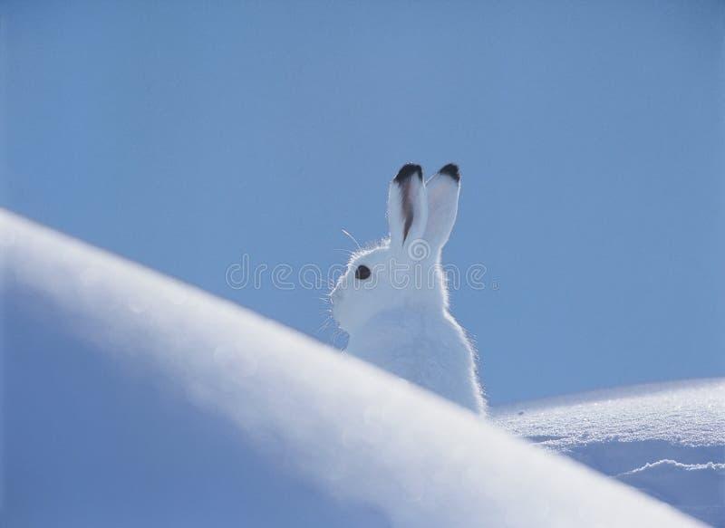 Arktische Hasen stockfotografie
