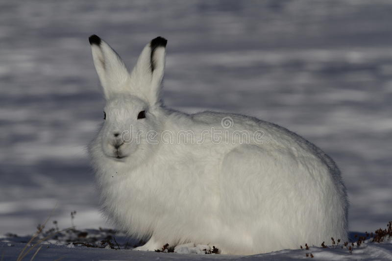 Arktische Hasen, die in Richtung zur Kamera auf einer schneebedeckten Tundra anstarren lizenzfreie stockfotografie