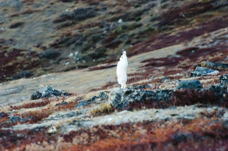 Arktische Hasen - Grönland lizenzfreie stockfotos