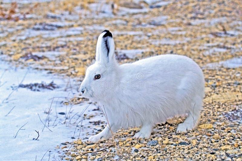 Arktische Hasen in Winter Lepus arktisch lizenzfreies stockfoto